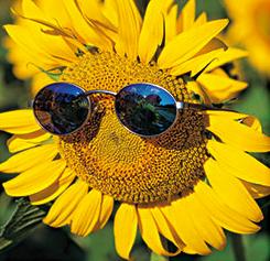 sunflower in shades